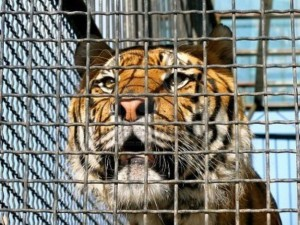 tigre radiobussola