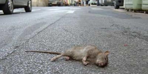 Allarme topi a Salerno, Codacons in pressing per la pulizia: presentata denuncia