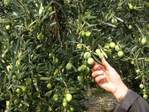Cueillette-olives-vertes